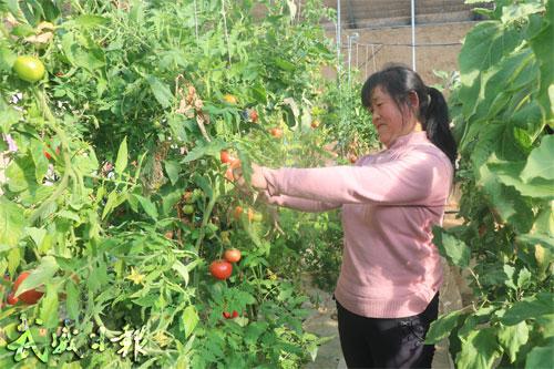 古浪县黄花滩生态移民后续产业专业合作社员工在棚里采摘西红柿